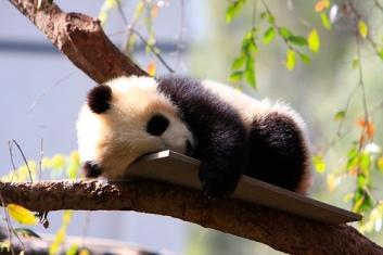 sleepy_panda1